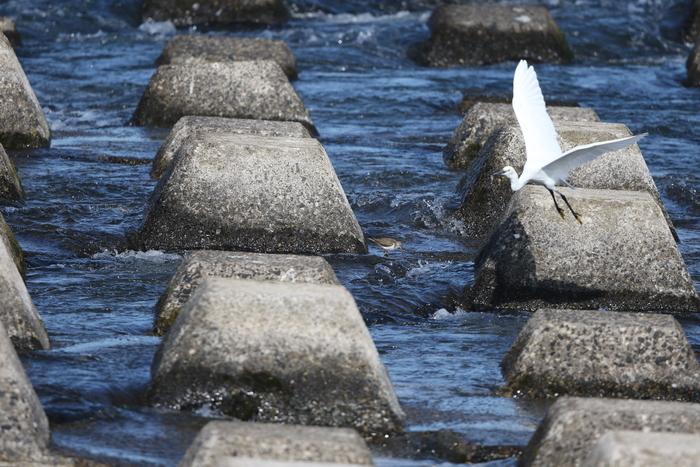 大きな川でイソシギを撮る_f0239515_15125596.jpg