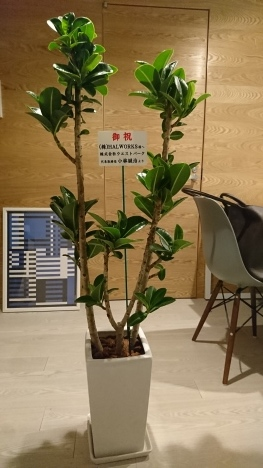 事務所の開所祝いに観葉植物をお届け_d0029716_17300972.jpeg