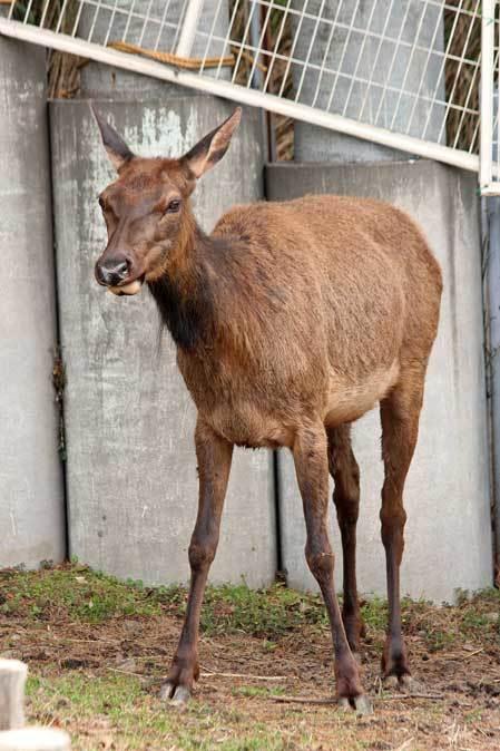 東武動物公園~ワピチの「マーサ」とヒクイドリ_b0355317_22013968.jpg