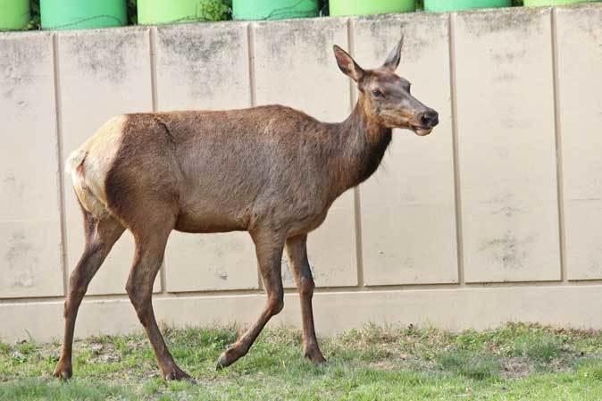 東武動物公園~ワピチの「マーサ」とヒクイドリ_b0355317_22030604.jpg
