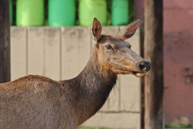 東武動物公園~ワピチの「マーサ」とヒクイドリ_b0355317_22054643.jpg