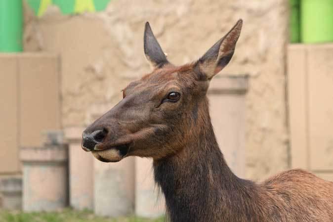 東武動物公園~ワピチの「マーサ」とヒクイドリ_b0355317_22100359.jpg
