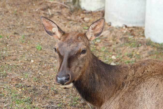 東武動物公園~ワピチの「マーサ」とヒクイドリ_b0355317_22143326.jpg