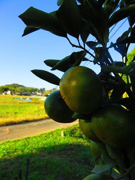 2018年10月30日 今年は蜜柑が豊作!(^^)!_b0341140_18473344.jpg
