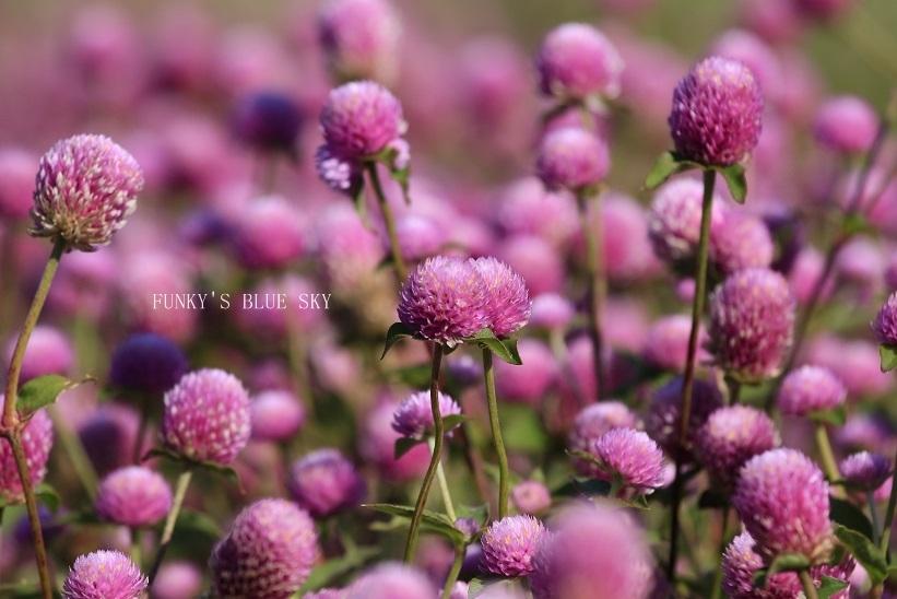 秋のお花畑・Ⅱ_c0145250_09271154.jpg