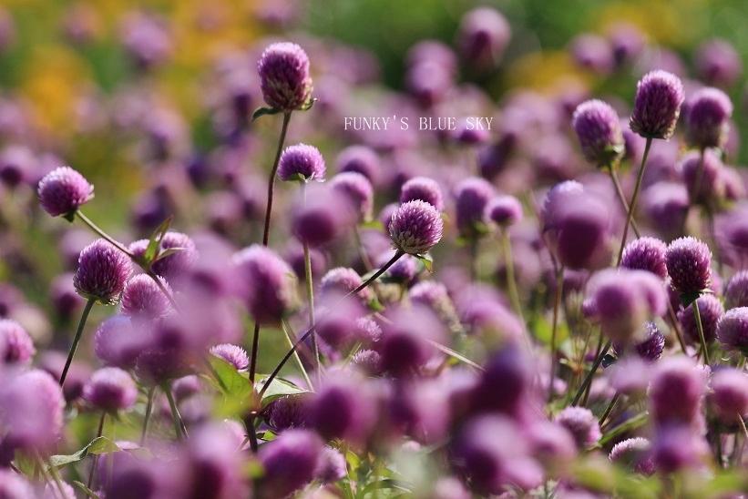秋のお花畑・Ⅱ_c0145250_09271993.jpg