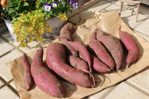 国バラで見たポタジェ&サツマイモ収穫♪_e0341606_23493863.jpg