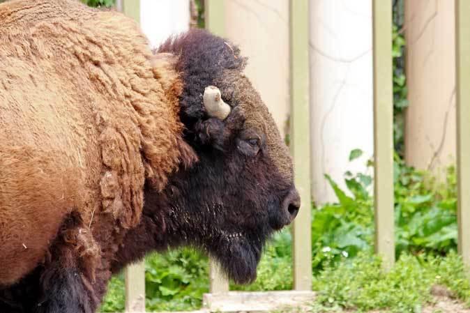東武動物公園~アメリカバイソン「スティンガー」&「スミレ」とアメリカビーバー_b0355317_20530259.jpg