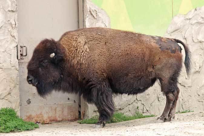 東武動物公園~アメリカバイソン「スティンガー」&「スミレ」とアメリカビーバー_b0355317_20543997.jpg