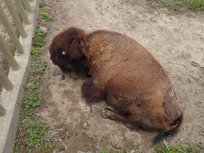東武動物公園~アメリカバイソン「スティンガー」&「スミレ」とアメリカビーバー_b0355317_20562193.jpg
