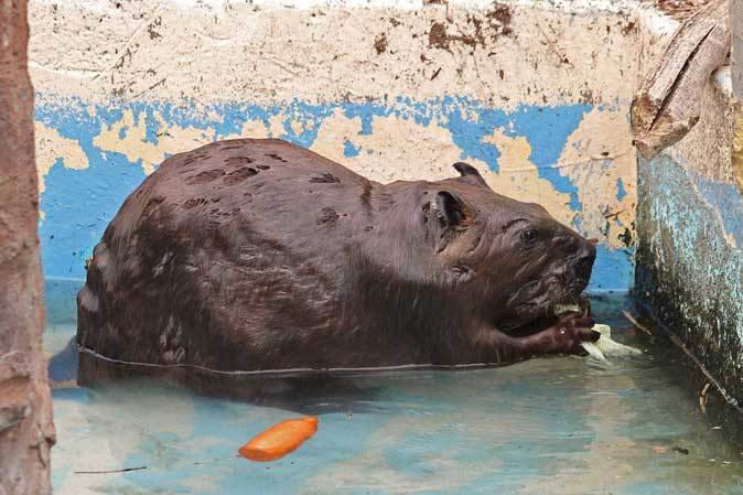 東武動物公園~アメリカバイソン「スティンガー」&「スミレ」とアメリカビーバー_b0355317_21031115.jpg