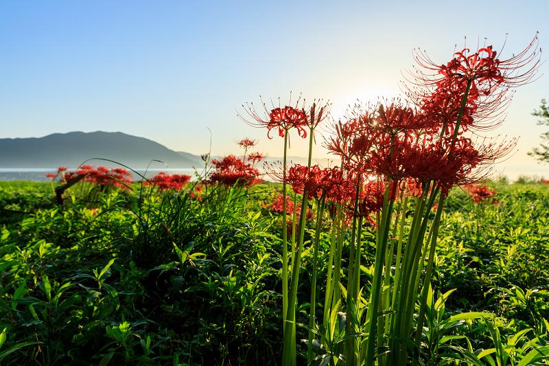 桂浜園地の彼岸花たち_f0155048_233678.jpg