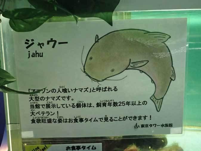 飼育歴25年越!超巨大ジャウーとデンキウナギ(東京タワー水族館)_b0355317_21114722.jpg