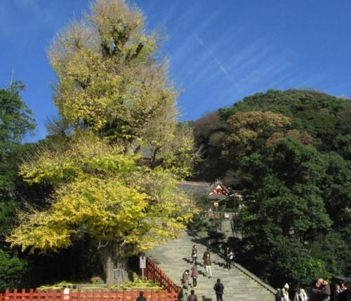 鎌倉鶴岡八幡宮の大銀杏_f0055131_11013862.jpg