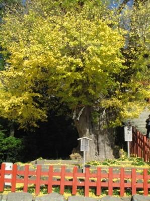 鎌倉鶴岡八幡宮の大銀杏_f0055131_11014961.jpg