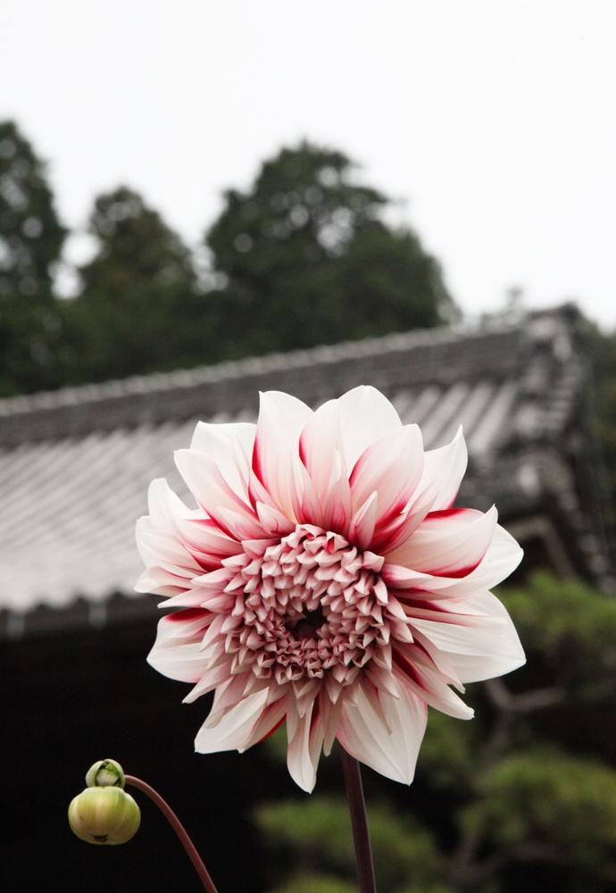 明日香 岡寺 天竺牡丹(ダリア) 1_c0108146_21521362.jpg