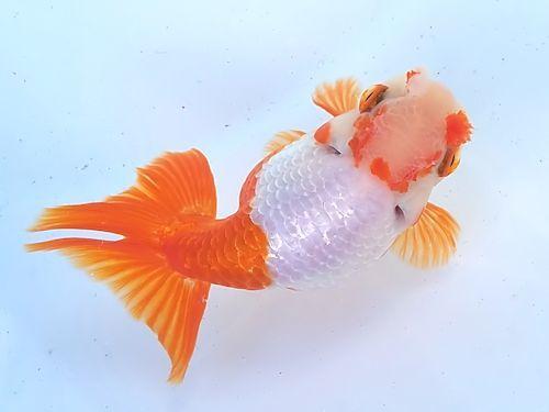 第25回金魚日本一大会 2018年_a0199486_20073531.jpg