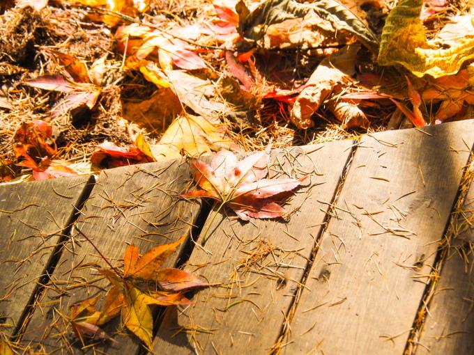 晩秋。エゾリス君とヤマモミジ、黄金色のカラマツ、原種系シクラメン_f0276498_21125684.jpg