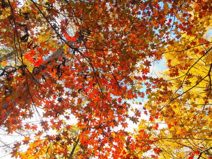 晩秋。エゾリス君とヤマモミジ、黄金色のカラマツ、原種系シクラメン_f0276498_21323542.jpg