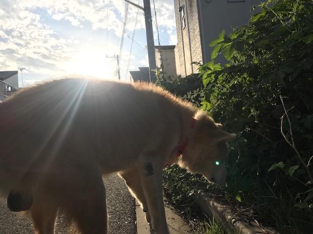 秋田犬「将吉」くん、超カワイイ♪_f0242002_13230428.jpg