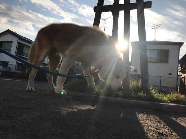 秋田犬「将吉」くん、超カワイイ♪_f0242002_13244404.jpg