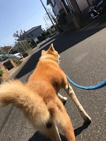 秋田犬「将吉」くん、超カワイイ♪_f0242002_13364159.jpg
