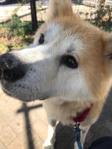秋田犬「将吉」くん、超カワイイ♪_f0242002_13380386.jpg
