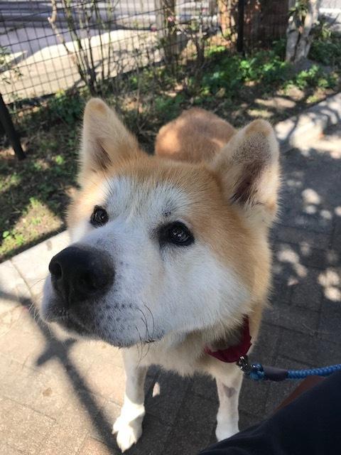 秋田犬「将吉」くん、超カワイイ♪_f0242002_13384112.jpg