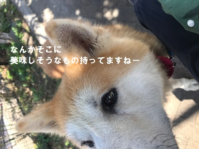 秋田犬「将吉」くん、超カワイイ♪_f0242002_13401989.jpg