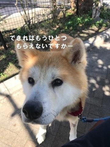 秋田犬「将吉」くん、超カワイイ♪_f0242002_13410076.jpg