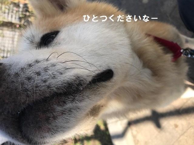 秋田犬「将吉」くん、超カワイイ♪_f0242002_13424262.jpg