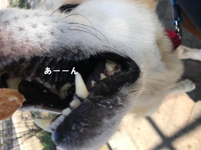 秋田犬「将吉」くん、超カワイイ♪_f0242002_13453999.jpg