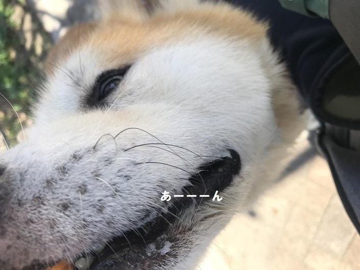 秋田犬「将吉」くん、超カワイイ♪_f0242002_13472751.jpg