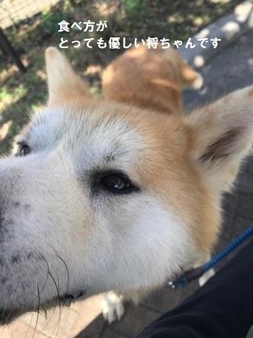 秋田犬「将吉」くん、超カワイイ♪_f0242002_13502533.jpg