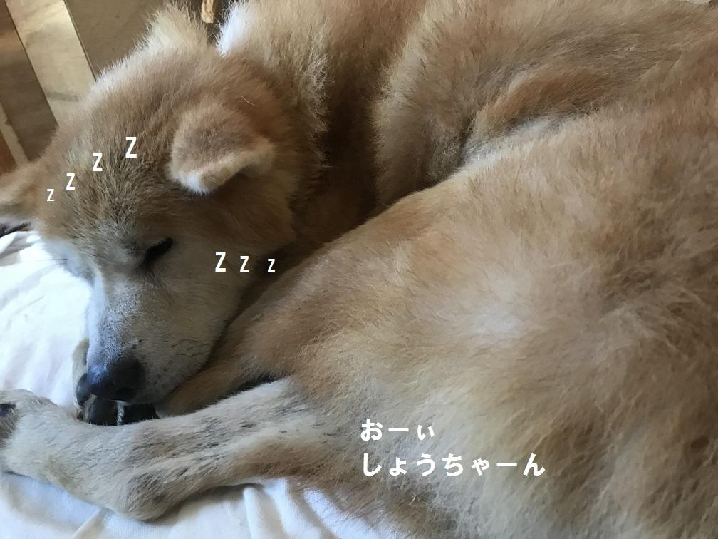 秋田犬「将吉」くん、超カワイイ♪_f0242002_13510112.jpg