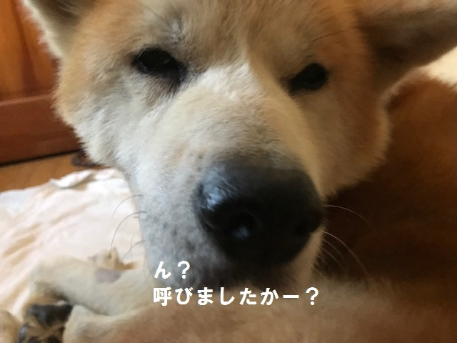 秋田犬「将吉」くん、超カワイイ♪_f0242002_13510790.jpg