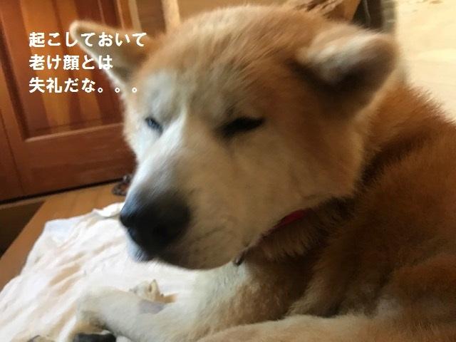 秋田犬「将吉」くん、超カワイイ♪_f0242002_13512961.jpg