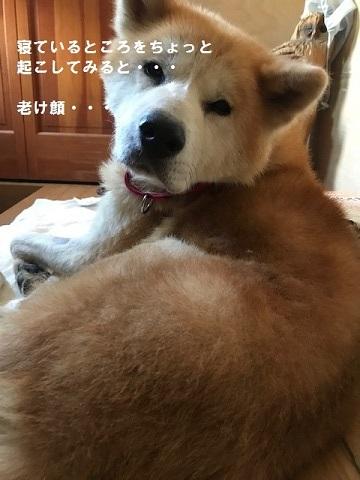 秋田犬「将吉」くん、超カワイイ♪_f0242002_13522865.jpg