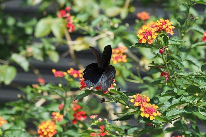 ナガサキアゲハの飛翔_d0149245_09432421.jpg
