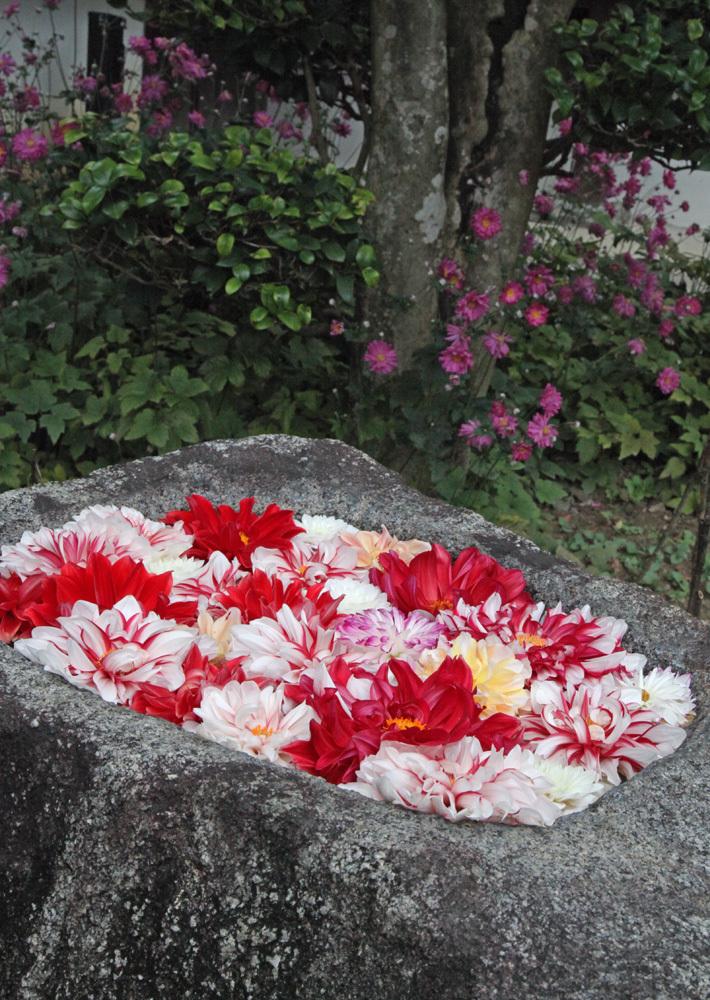明日香 岡寺 天竺牡丹(ダリア) 2_c0108146_21062420.jpg