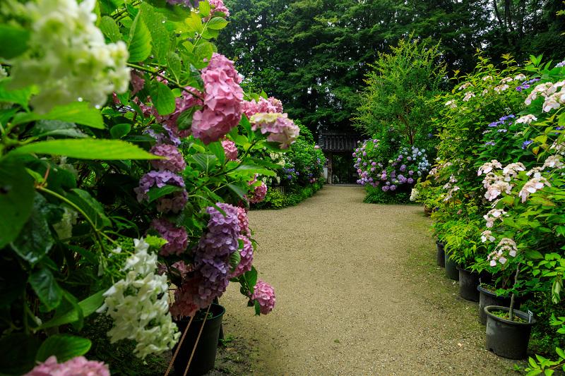 雨靄と紫陽花の彩り(岩船寺)_f0155048_21595598.jpg