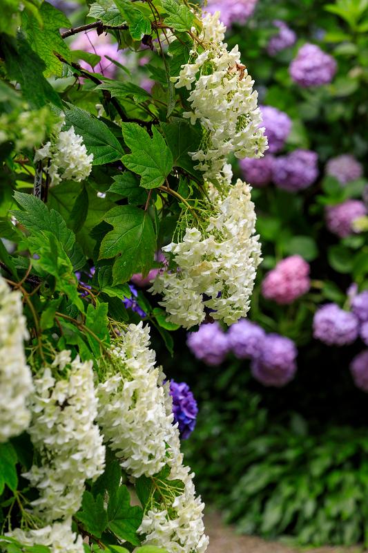 雨靄と紫陽花の彩り(岩船寺)_f0155048_2213482.jpg