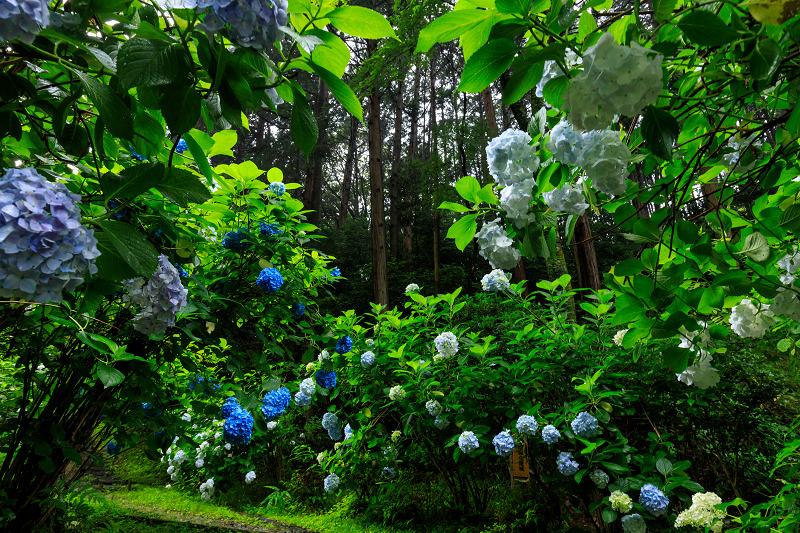 雨靄と紫陽花の彩り(岩船寺)_f0155048_2242716.jpg