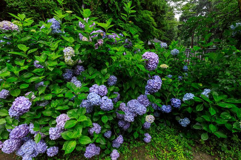雨靄と紫陽花の彩り(岩船寺)_f0155048_2252239.jpg