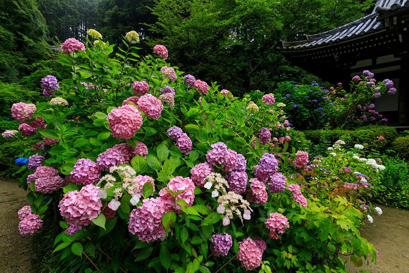 雨靄と紫陽花の彩り(岩船寺)_f0155048_2293541.jpg
