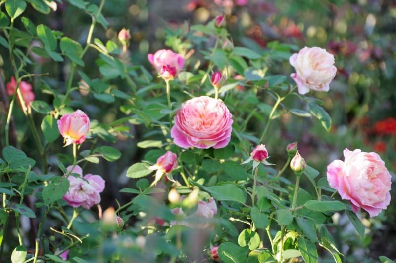 秋薔薇が細々と咲く小さなローズガーデン_b0356401_04432398.jpg