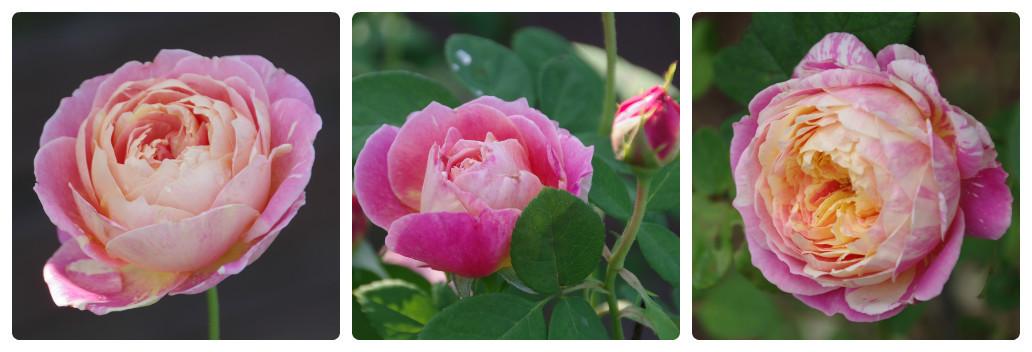 秋薔薇が細々と咲く小さなローズガーデン_b0356401_04433174.jpg