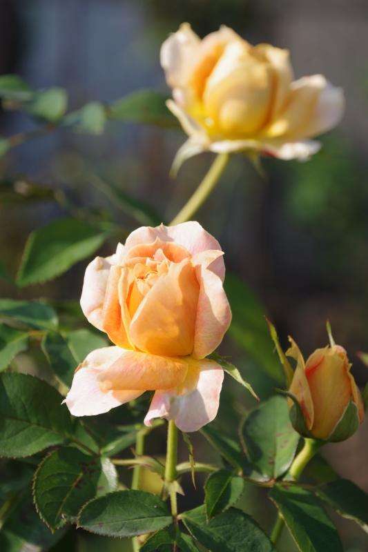 秋薔薇が細々と咲く小さなローズガーデン_b0356401_04440246.jpg