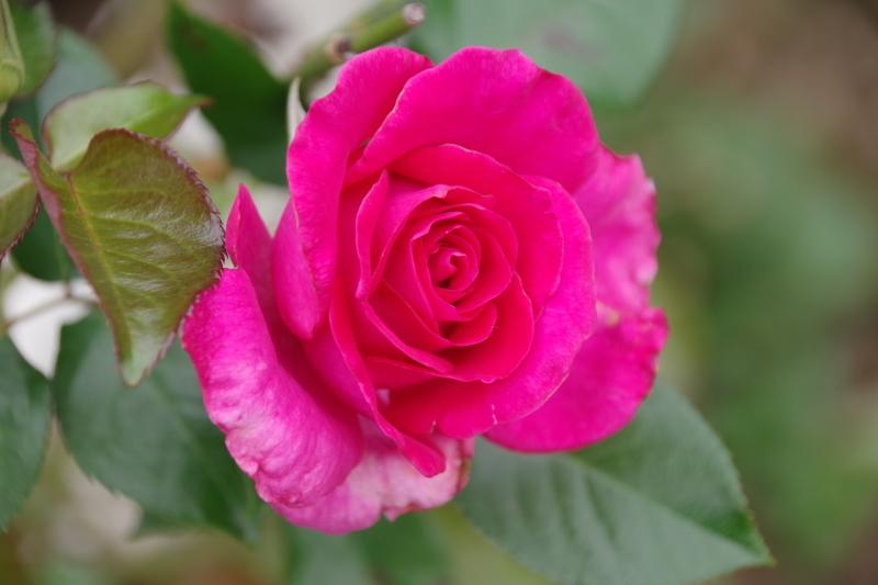 秋薔薇が細々と咲く小さなローズガーデン_b0356401_04442281.jpg