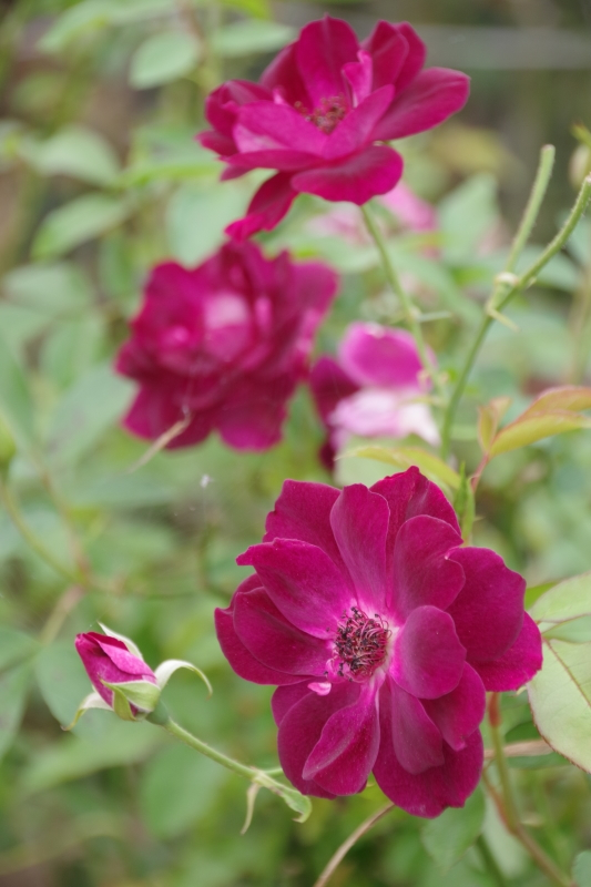 秋薔薇が細々と咲く小さなローズガーデン_b0356401_04443670.jpg
